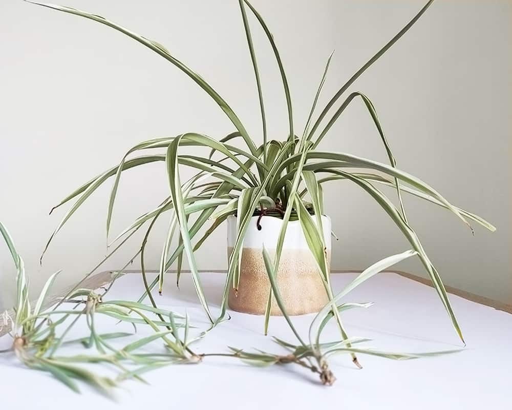 spider plant in a ceramic pot
